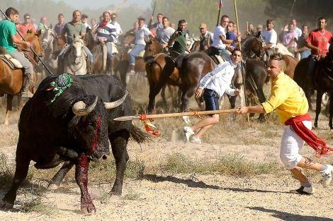 Toro lanceado por la muchedumbre en Tordesillas