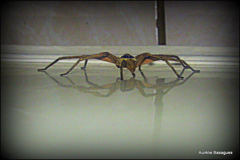 Elle se promenait dans la chambre des garçons, une belle et grande araignée marquisienne.