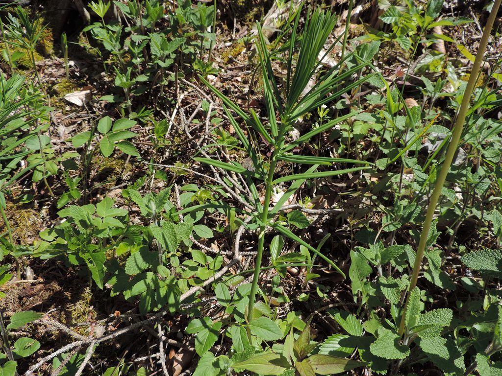 Sceau de Salomon verticillé (Polygonatum  verticillatum) petites clochettes à l'aisselle des feuilles sur la tige dressée à feuilles lancéolées.