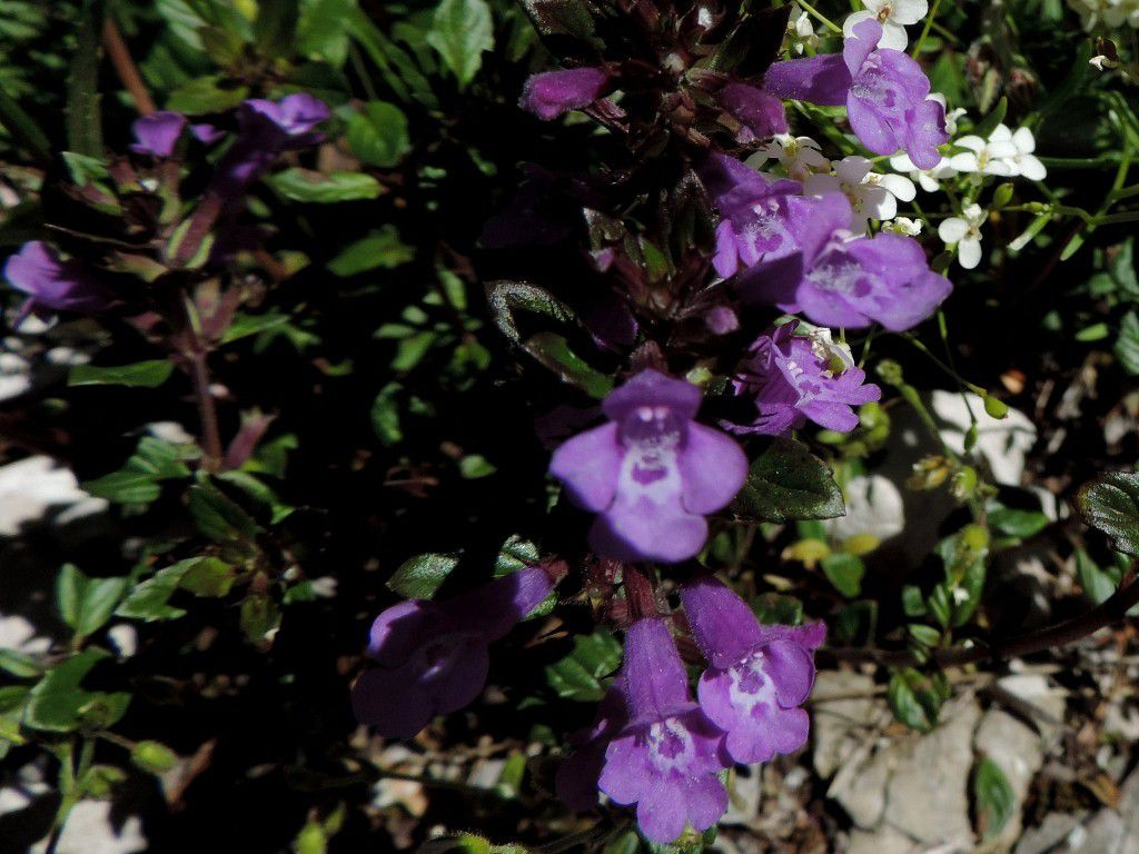Calament des Alpes (Clinopodium alpinum)