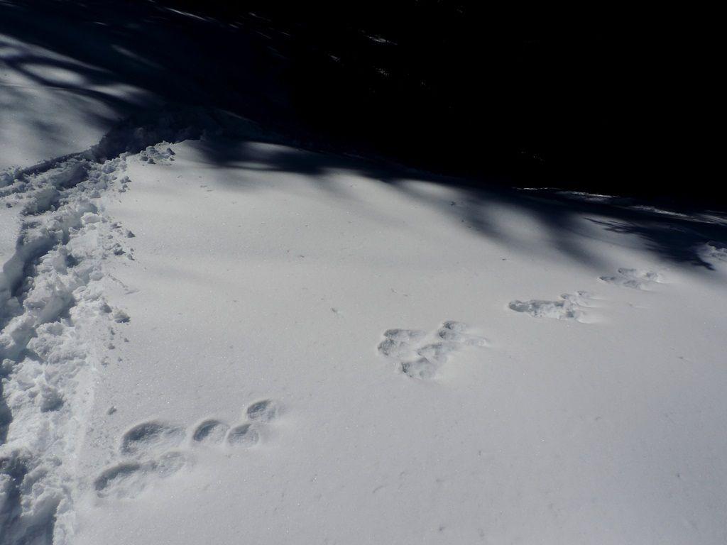 Nombreuses traces de blanchot, un lapin qui change de pelage pour être blanc et invisible l'hiver.