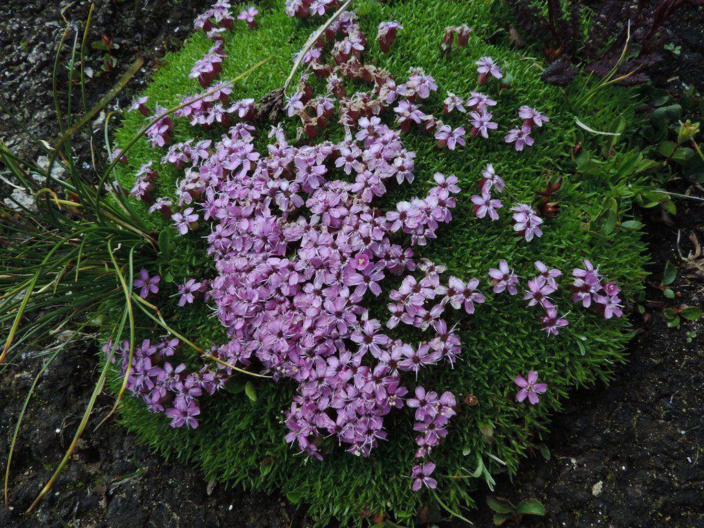 Gentiane nivale, Silène acaule, Saxifrage androsace.