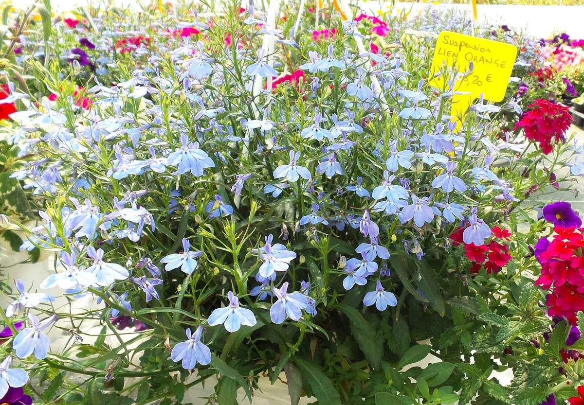 PEPINIERE VILLAU PLANTES A VILLAUDRIC (31)