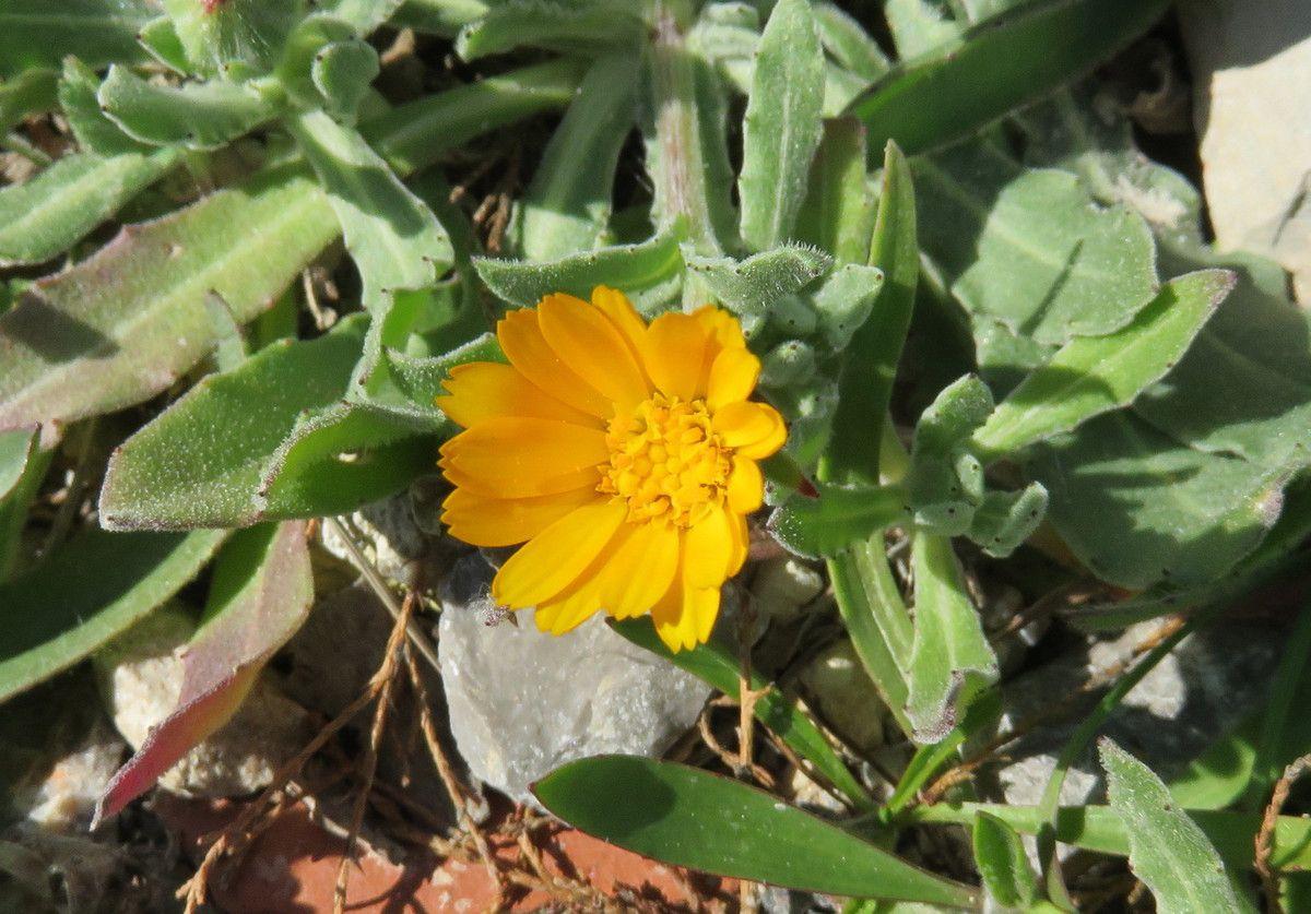 Calendula arvensis ou souci des champs