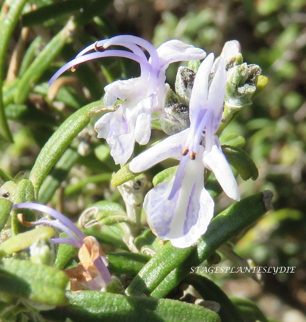 Romarin officinal Romarinus officinalis