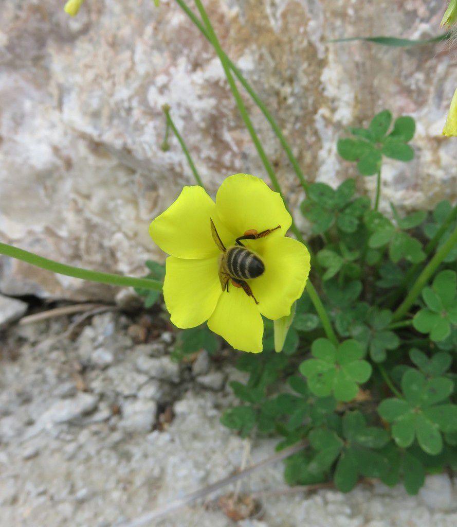 Moment de communion entre l'oxalis des Bermudes (Oxalis pes-caprae L) et l'abeille