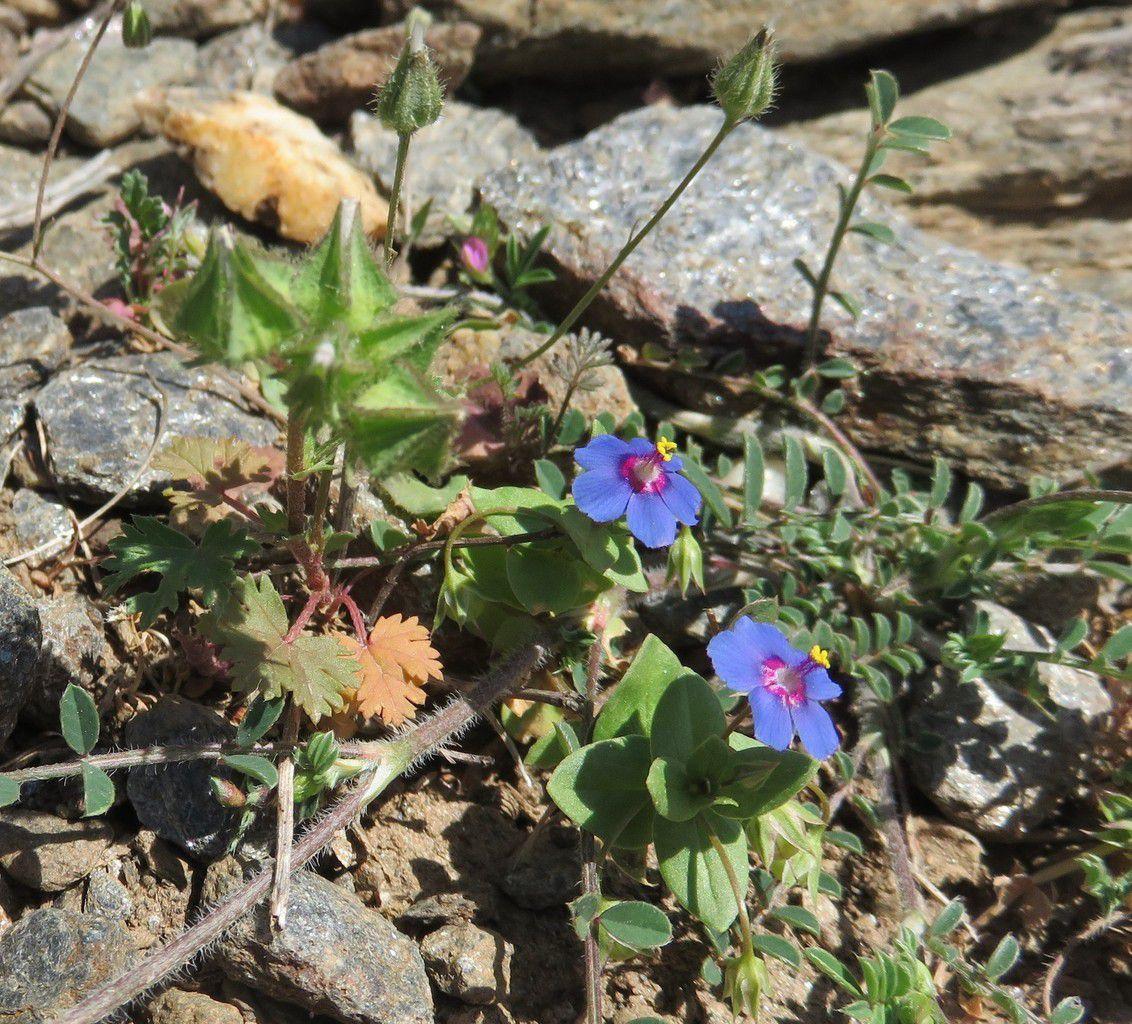 Mouron bleu ( Anagallis foemina) petites fleurs bleues (plante toxique)