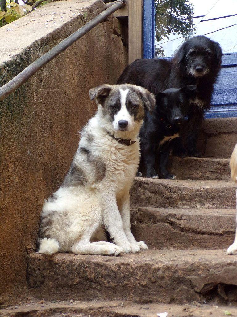 A l'adoption : Larsson,  2 ans, un jeune chien croisé berger roumain