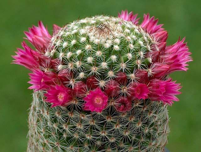 Les cactus sont presque exclusivement des plantes du Nouveau Monde. Une exception toutefois, Rhipsalis baccifera ; cette espèce a une répartition sur toute la zone subtropicale. Elle aurait colonisé assez récemment le Vieux Continent (quelques milliers d'années), probablement par des graines transportées dans le système digestif d'oiseaux migrateurs. La vallée de Tehuacán (Mexique) est l'un des plus riches sites de cactus dans le monde4. Beaucoup d'autres cactus (et notamment les Opuntias) se sont acclimatés sur les autres continents après avoir été introduits par l'homme. Les Cactus ont dû évoluer dans les derniers 30 à 40 millions d'années, quand les continents étaient déjà bien séparés.