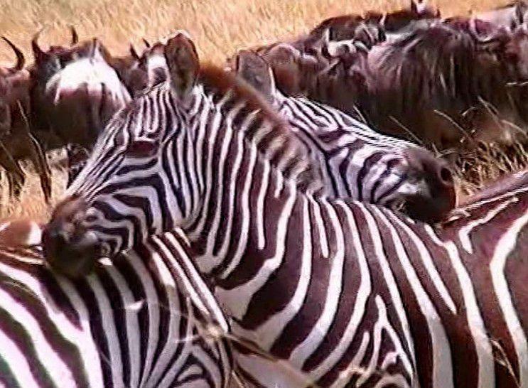 Kénia-Masaï Mara