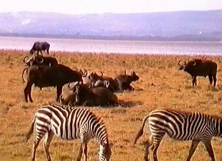 Kénia-Réserve de Nakuru