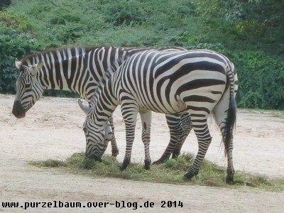 Zebras beim Heusnack