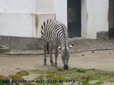 Zebra beim Grassnack