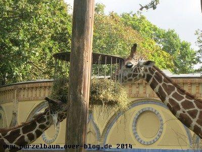 Giraffen mit gutem Appetit