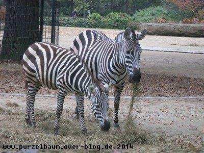 Die Zebras lassen es sich schmecken :-)