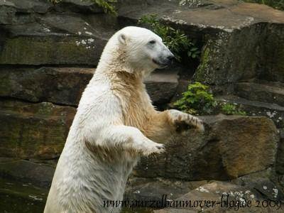 Knut am 19. Juli 2009