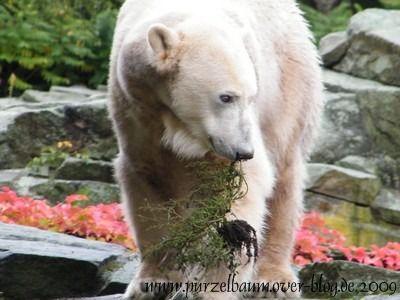 Knut am 17. Oktober 2009