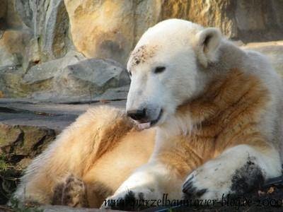 Knut am 31. Oktober 2009