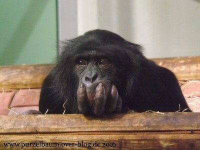Bonobo in Denkerpose