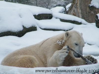 Knut am 19. Februar 2009