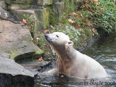 Knut am 19. Oktober 2008