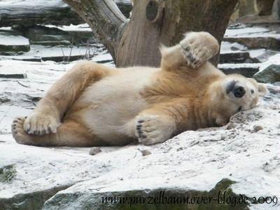 Knut am 28. Januar 2009