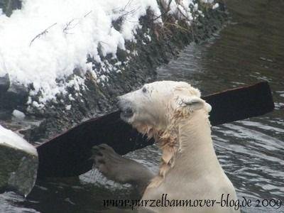 Knut am 22. Februar 2009