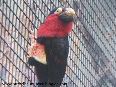 Senegal-Furchenschnabel-Bartvogel