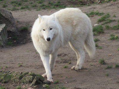 Polarwolf