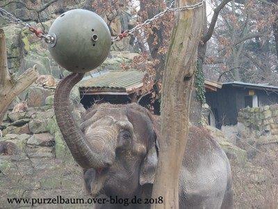 Elefant an der Futterkugel