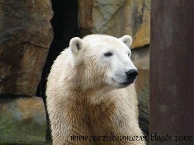 Knut am 20. Januar 2009