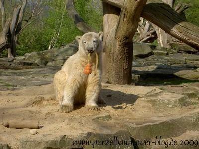 Knut am 27. April 2008