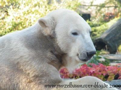 Knut am 20. Oktober 2009