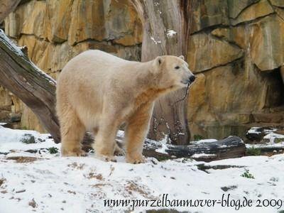 Knut am 23. November 2008