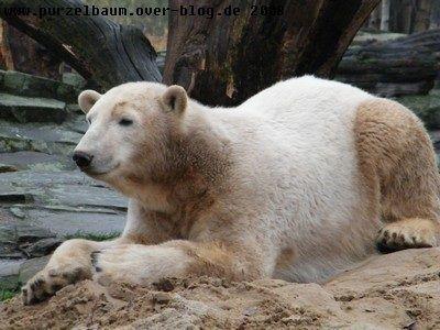 Knut am 2. Dezember 2008