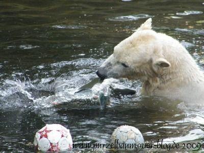 Knut am 26. April 2009
