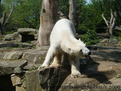 Knut am 23. Mai 2009