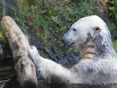Knut am 19. September 2009
