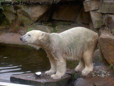 Knut am 21. September 2008