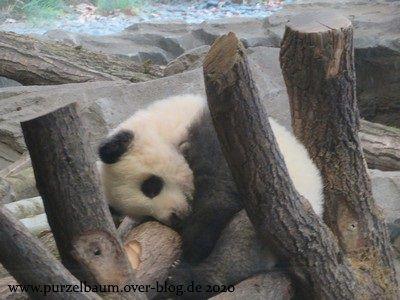 Pandabärchen Pit (Meng Xiang) oder Paule (Meng Yuan)
