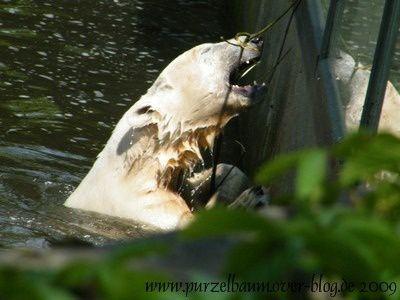 Knut am 31. Mai 2009