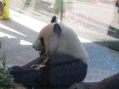 Meng Meng beim Bambusverzehr in ihrem verglasten Wohnzimmer
