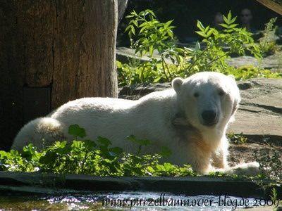 Knut am 18. August 2009