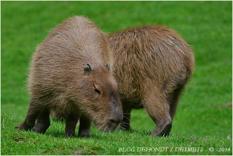 Capybara au Parc Zoologique de Lisieux, France