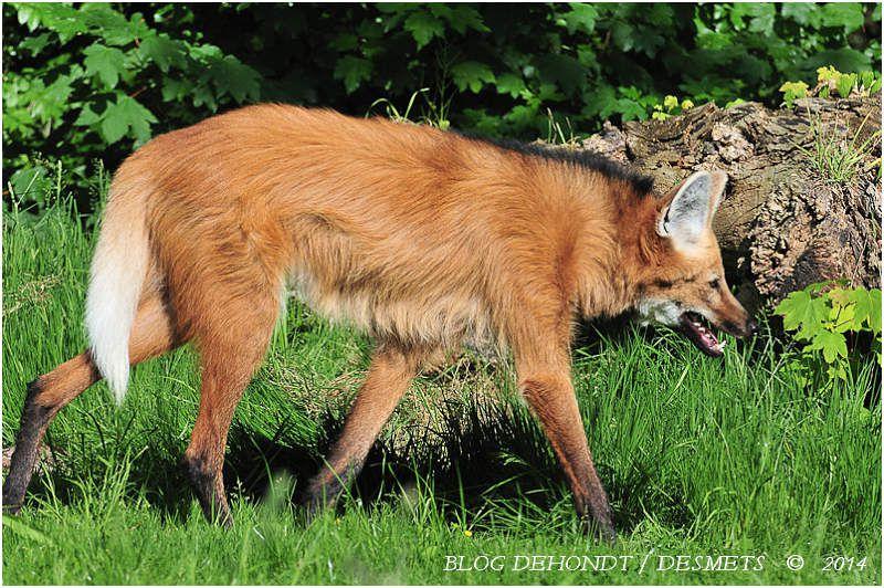 Loup à crinière au Zoo d'Amiens, France