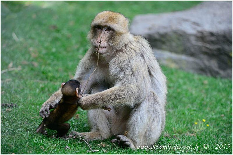Macaque de Barbarie ou Magot