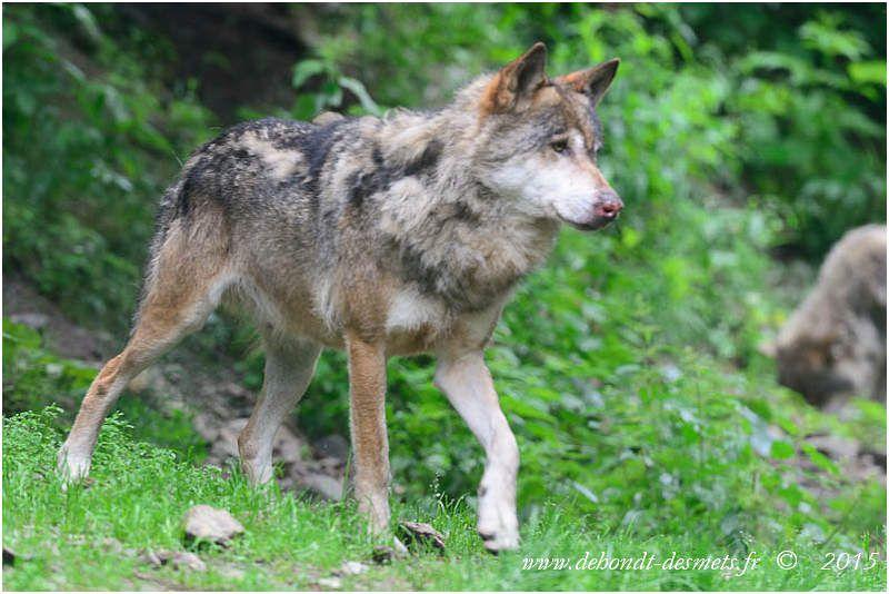 Loup d'Italie