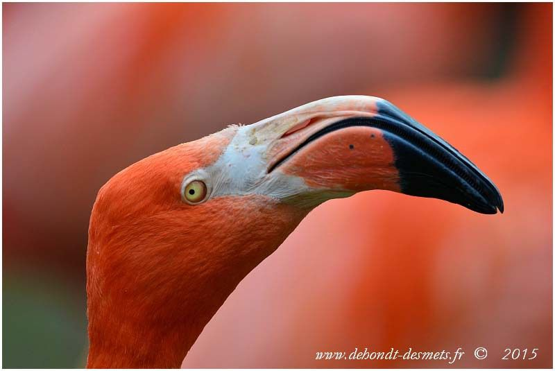 Flamant rouge ( Phoenicopterus ruber)