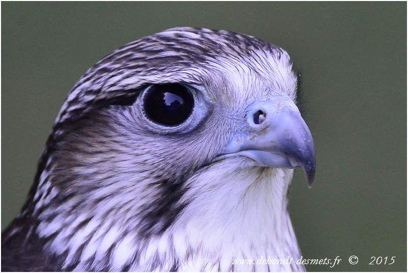 Faucon gerfaut (Falco rusticolus)