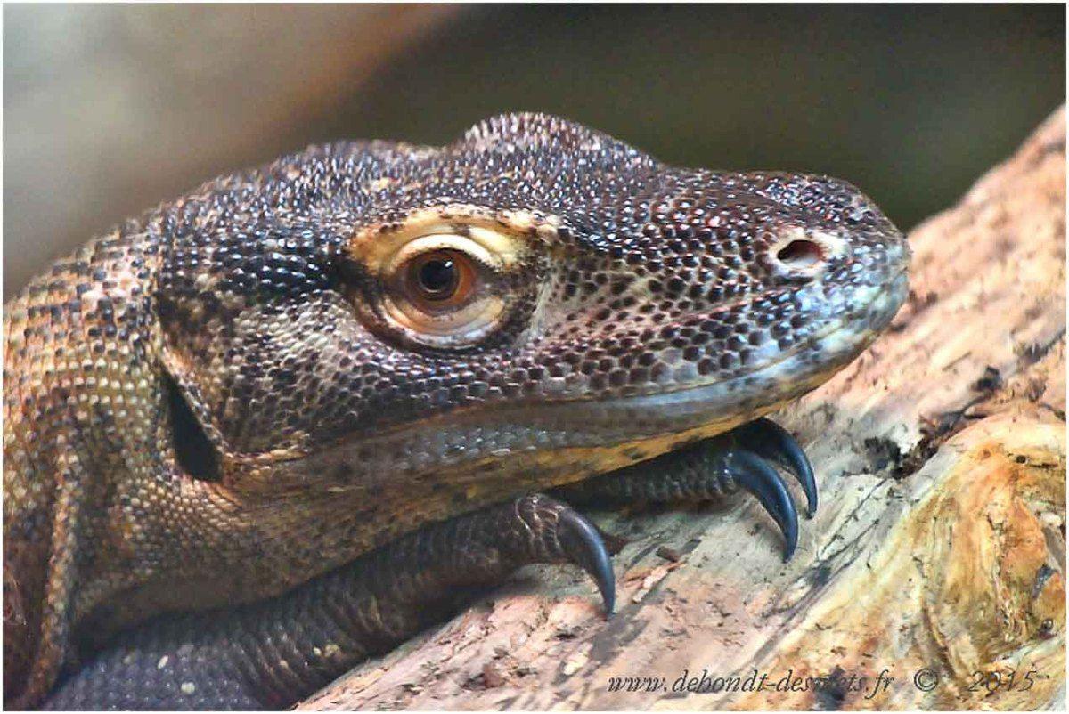 Dragon de Komodo (Varanus komodoensis) , Ferme aux crocodiles, Pierrelatte, France